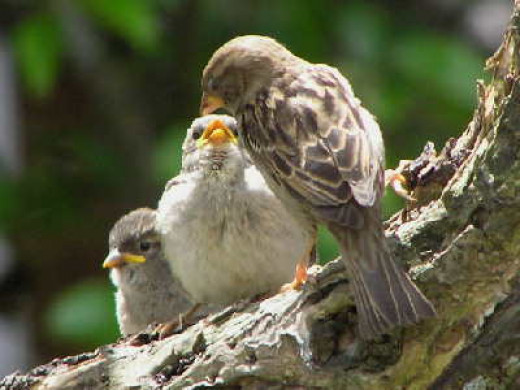Mother House sparrow feeding her chicks