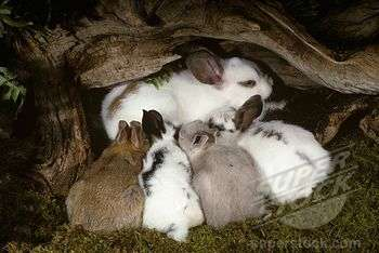 Mama rabbit feeding her kits with her milk