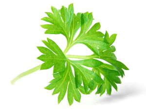Parsley Sprig