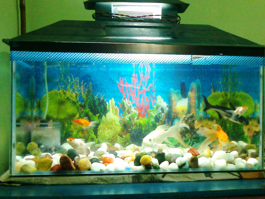 A simple aquarium tank with easy to find pet fishes (red cap, hammerhead)...  The fish tank has a wallpaper background, stones and a filter. This kind of aquarium is perfect for beginners.