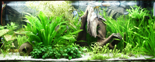 A very artistic aquarium which is perfect for my wish list hehehe... I hope I create an aquarium which is as beautiful as this...