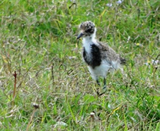 Black-smith Lapwing chick