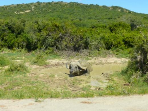 Buffalo taking mudbath
