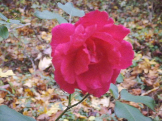 This rose is only suppose to bloom in May yet this photo was taken in October.
