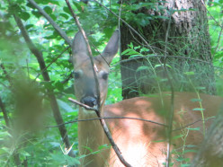 How To Listen For Spiritual Messages - Part Three:  The Message of the Deer