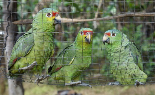 Three Red-lored parrots in a cage.  Taken with the 35 mm/f1.8 SAM lens from Sony.