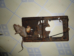 Trapping Rats Using the Scissor Spring Rat Trap