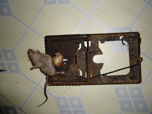 A rat captured by the scissor spring rat trap