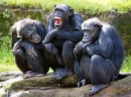 "The middle chimp is laughing at his own joke. The chimp on the left says. ""Was that funny?"" The chimp on the right says, ""Was what funny?"""