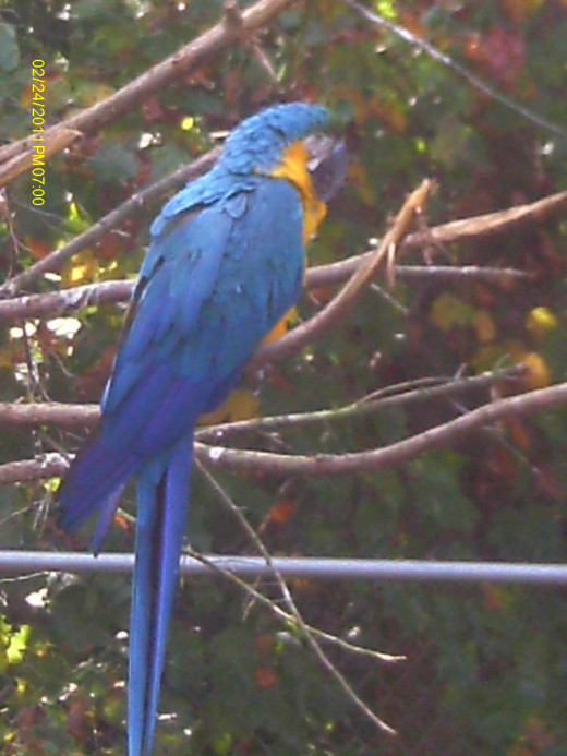 Blue and Gold Macaw-S. America