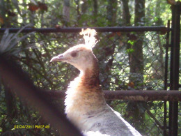Silver Pied Peacock-Euroasia