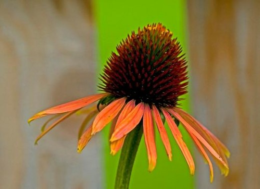 A unique coneflower is hard to find in stores.