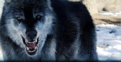 Wolf see's you...