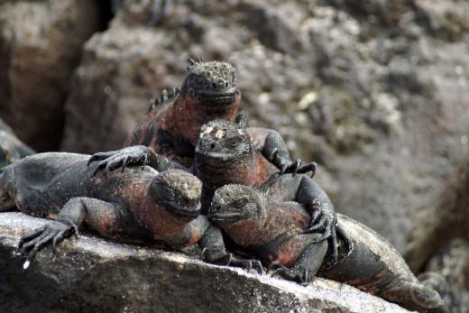 Marin iguanas, Galapagos