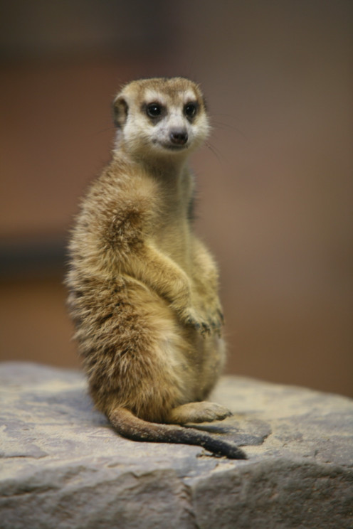 A Meerkat Standing Up