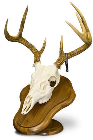 This deer skull is attached to a pedestal that sits on a table or flat counter top.
