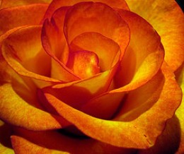 Sink into the beauty of this gorgeous rose