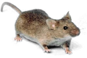 Wild House Mouse (mus musculus)