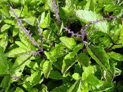 Health Benefits of Holy Basil You Didn't Know