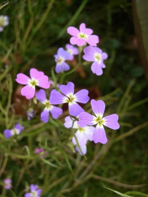 Virginian stock flowers