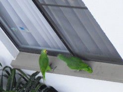 The Parrots at Our Window