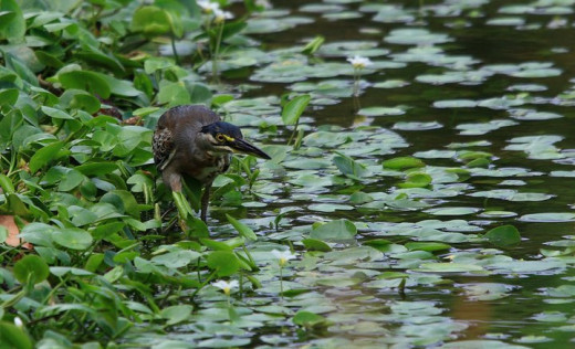 A Striated Heron looking for a fish
