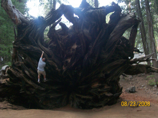 Climbing the roots of the fallen Sequoia