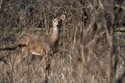 A white-tail doe in Illinois.