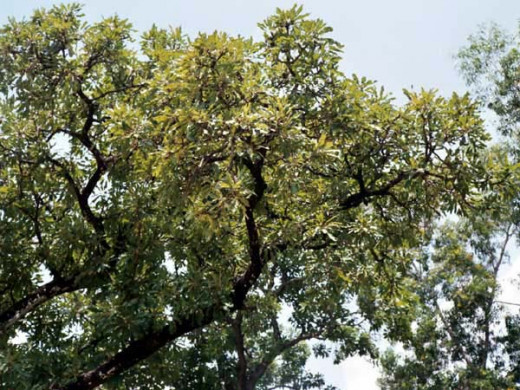 "The process of shea butter begins with the karite nut trees, found in West and Central Africa. Karite means ""Tree of Life""."