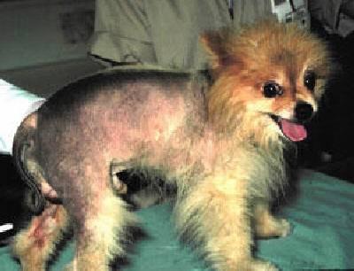 Pomerian with Alopecia X