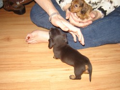 Four Weeks Old: Maggie comes to visit.  Any good dog breeder is going to check out the home their pup is going to live in.