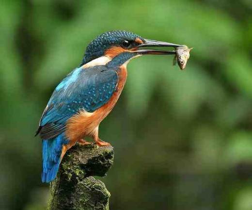 Kingfisher public domain