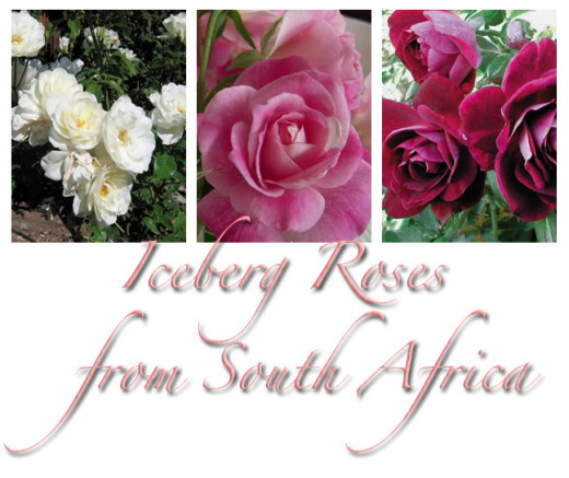 These lovely roses require less than 4 hours sunlight and are  hardy in hostile conditions.