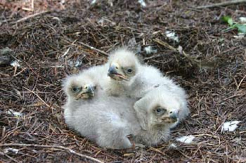 Baby eaglets hatched in 2008