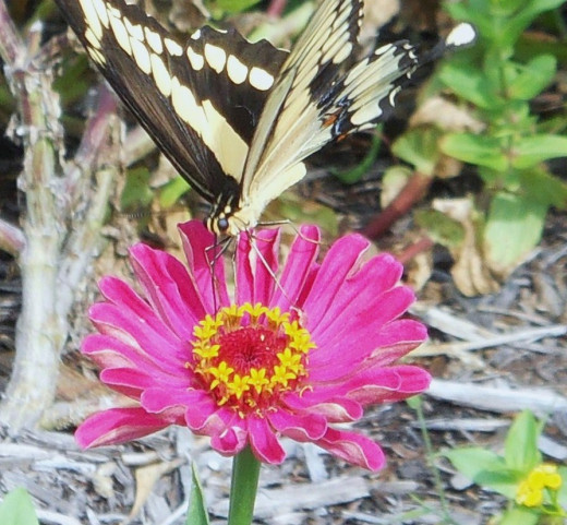 Butterflies abound in the Old Corolla Village Garden.