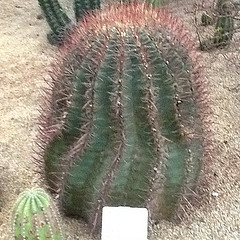 Fire Barrel Cactus