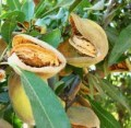 Almond Tree Growing Facts and Enjoying Almonds for the Holidays