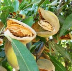 Almond Tree Growing Facts and Holiday Recipes
