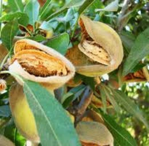 Almonds in Hulls