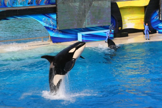 Orcas perform at Sea World, San Diego. Trainers are no longer allowed in the water with the animals.