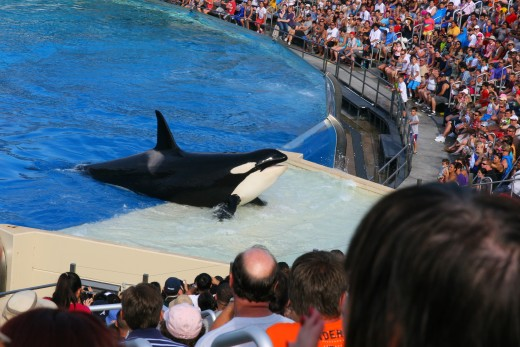 The One Ocean show allows guests to view orcas as they swim and perform tricks.