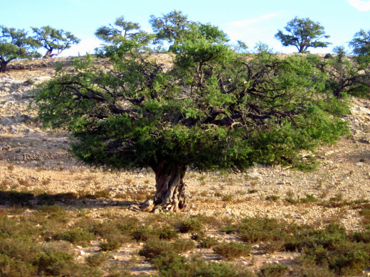 Mature argan tree growing solo in plains/steppe area in Morocco.