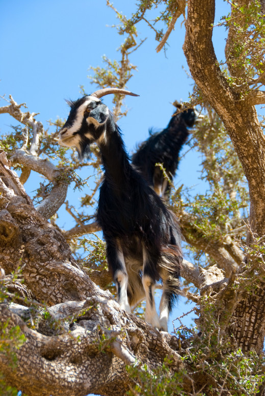 Goats grazing Argan tree.