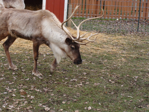 Santa's reindeer take a break before the long trip back to the North Pole!