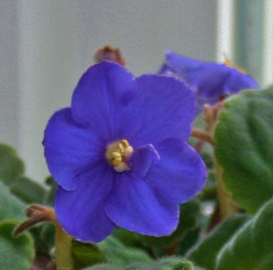 African violets are among the 160+ plants featured in Pleasant's manual.