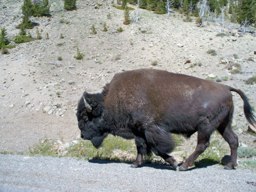 A bison walking along the roadway