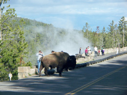 People way too close to a Bison taking pictures.  This one became very aggitated.