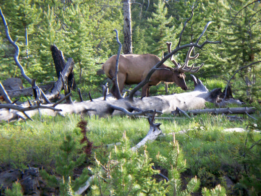 Male Elk just off of the side of the road