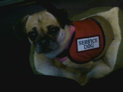 Service dogs come in all sizes and serve many purposes.