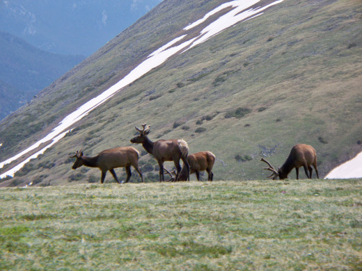 Rocky Mountain National Park - Trail Ridge Road - Elk